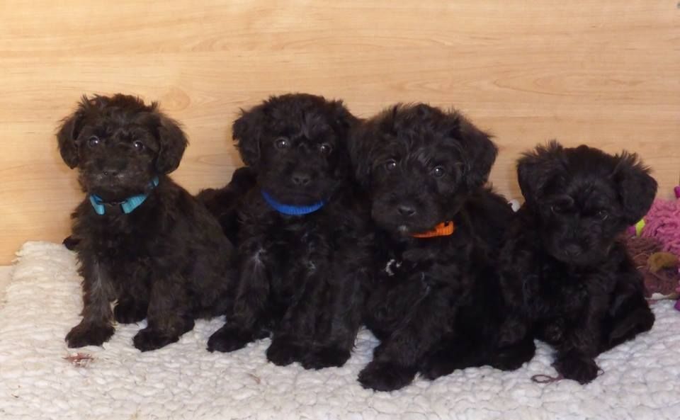 Schnoodle Schnauzer Poodle Mix Info Puppies Temperament