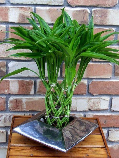 Комнатное растение бамбук (48 фото): уход и размножение ...