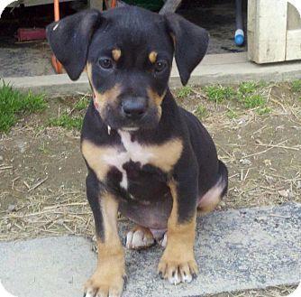 Pin By Lisa Varo Slp On Puppies In 2020 Rottweiler Mix Puppies Rottweiler Mix Rottweiler