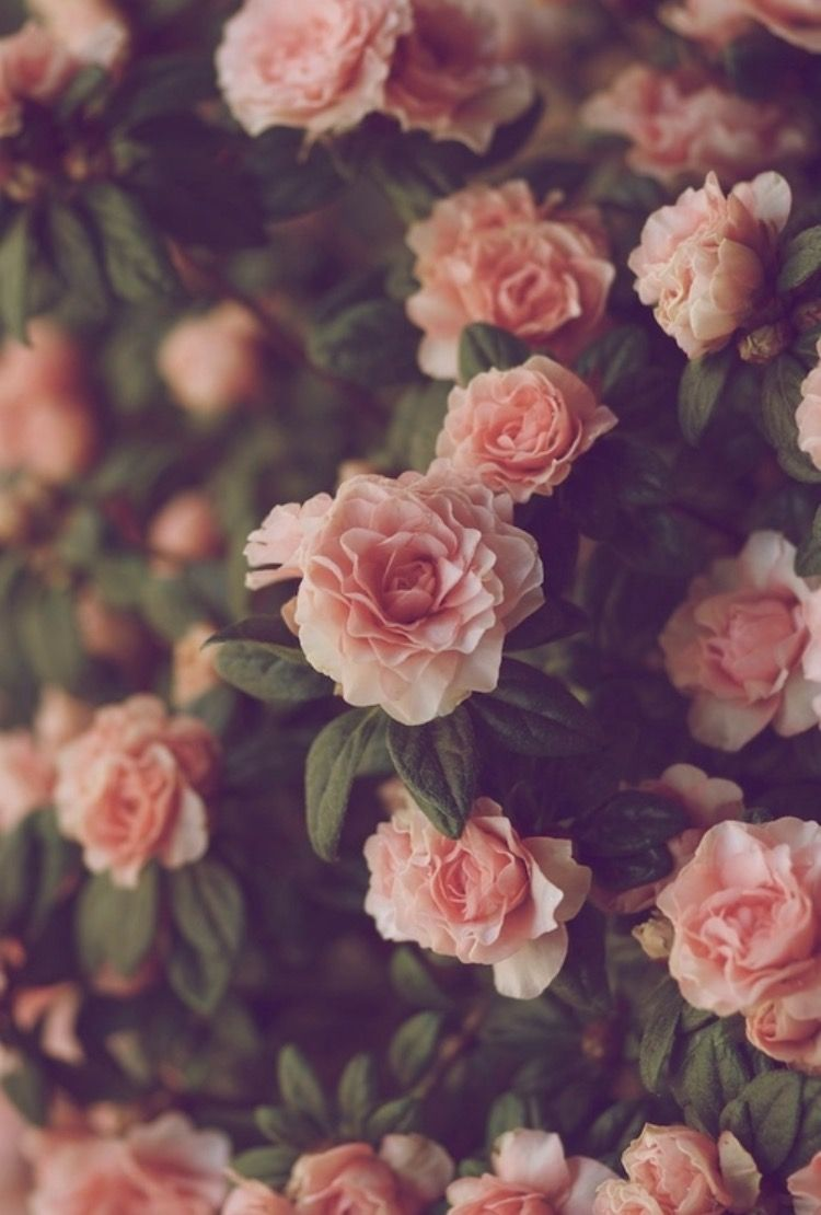 Wallpaper Image By Madison Tumblr Flower Red Roses Wallpaper