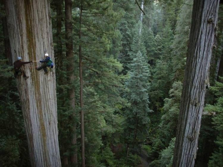 Sekoya Ağacına Tırmanış