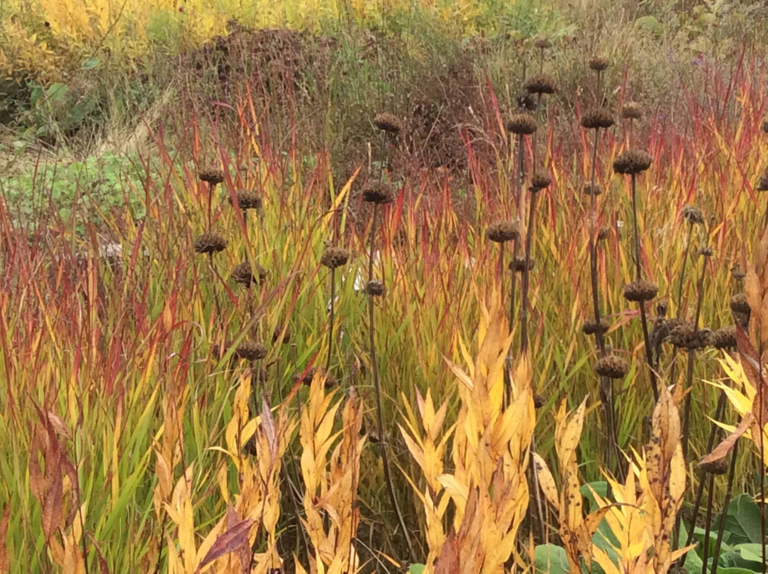 phlomis amsonia panicum virgatum u0027shenadoah u0027 plant
