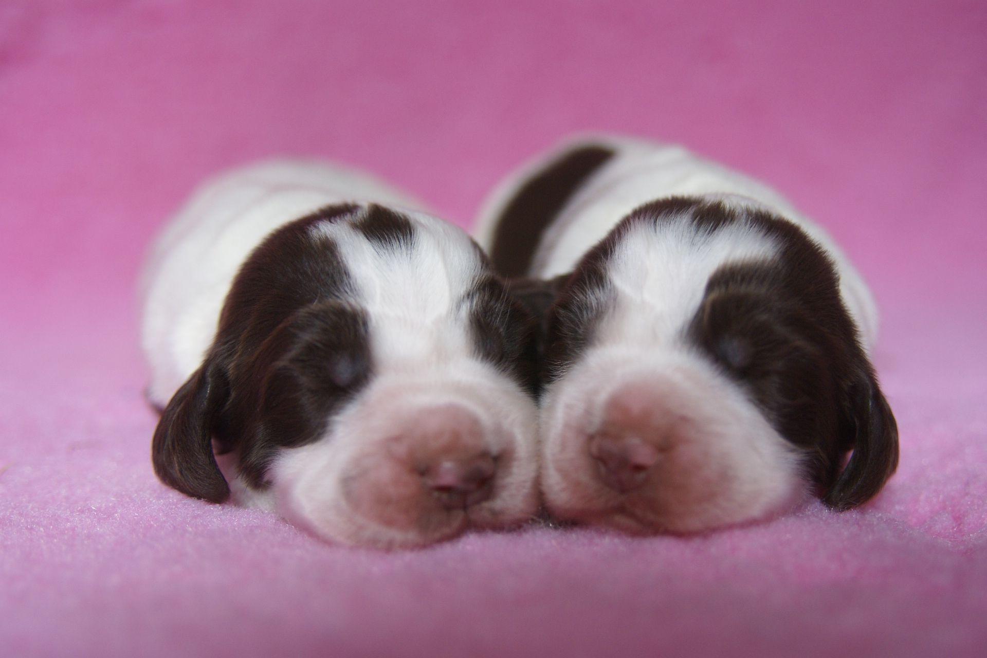 English Springer Spaniel Pups Van Het Veense Springertje 2 Weeks Old Girls English Springer Spaniel Springer Spaniel Dog Rules