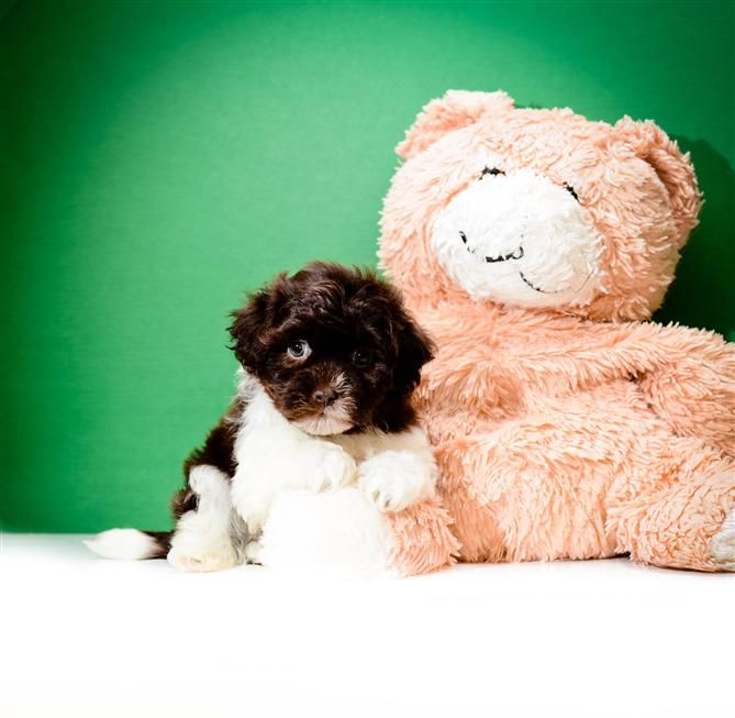Buy Our Havanese Puppy For Adoption Near Toledo Ohio Paul Has A Nose For Action No Matter What He Is Just Waiting Havanese Puppies Puppy Adoption Puppies