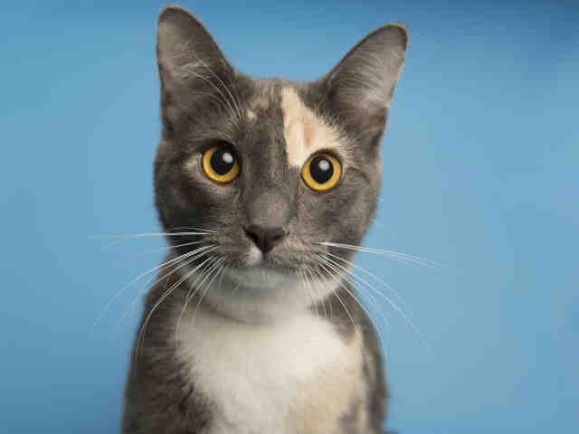 Pet Details Arizona Humane Society Cat Adoption Humane Society Kitten Adoption