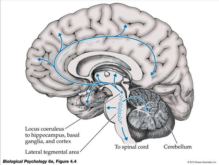 Locus Coeruleus (location) | Anatomy and Physiology | Pinterest