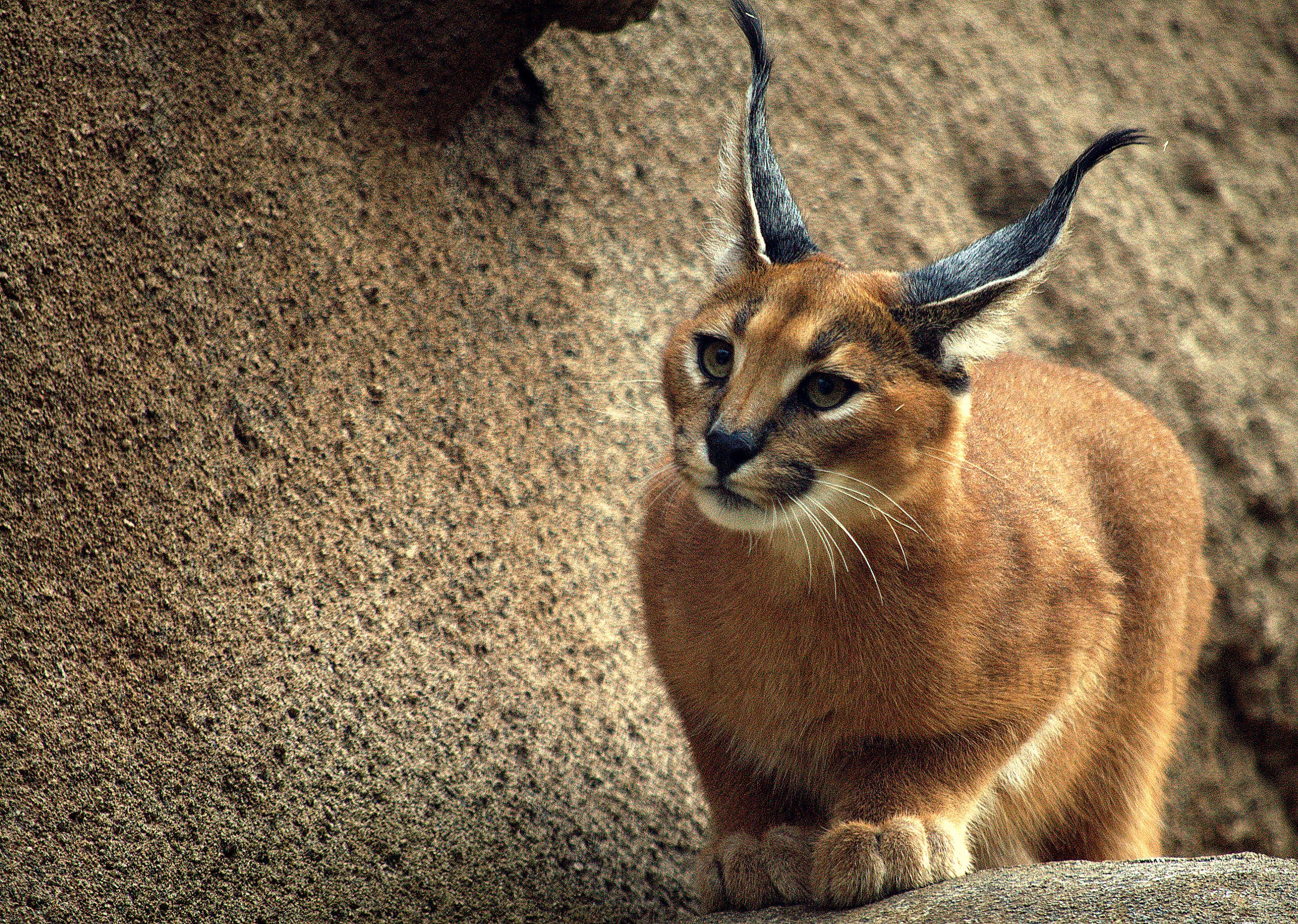 Caracal. The caracal makes the usual cat sounds, but also