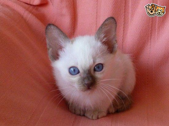 Tonkinese Kittens For Sale Tonkinese Cat Tonkinese Kittens