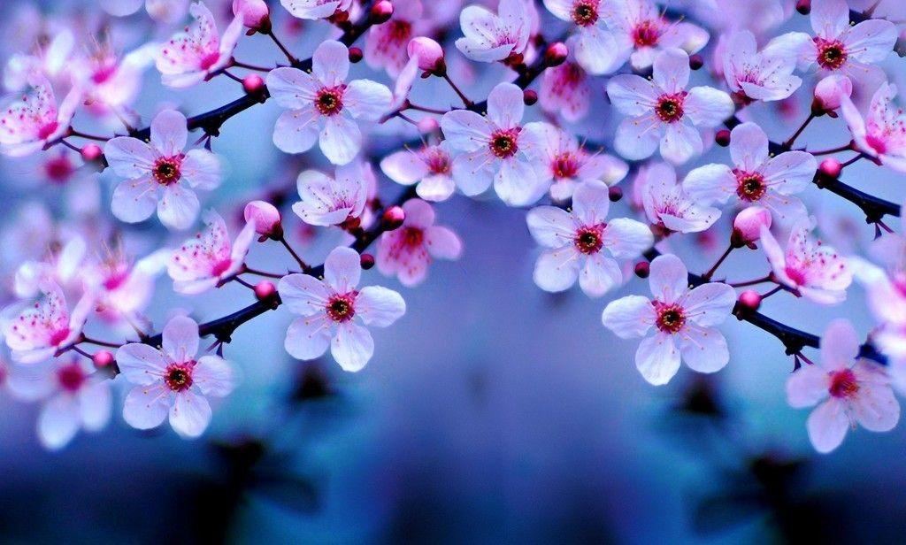 Cherry Blossom Pink Flowers Tree Branch 4k Wallpaper Bunga Sakura Bunga Wallpaper Bunga