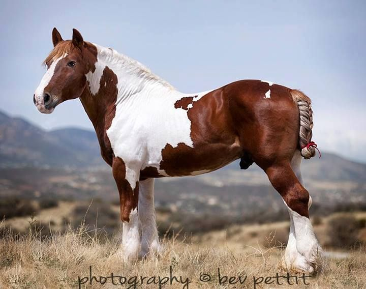 Spotted Draft horse-from Rural Heritage; originated in midwest of ...