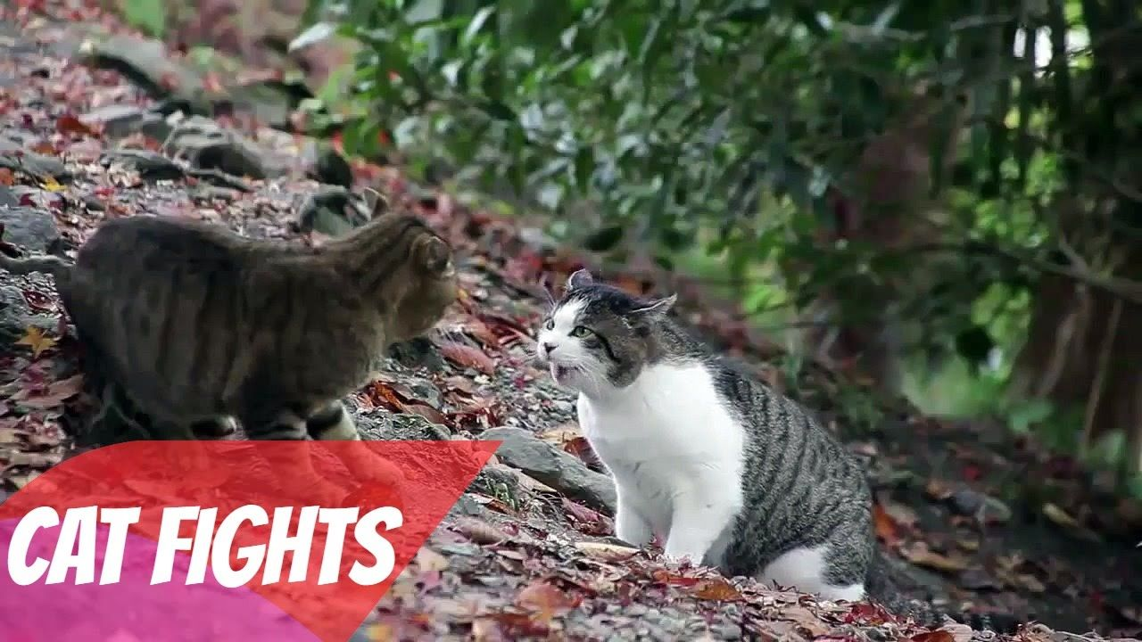 Top Epic Cat Fight Compilation Ever Seen Funny Cat Videos 2016 New Hd Youtube In 2020 Cats Cat Gif Funny Cats
