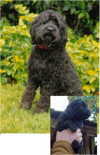 Before And After - The Cockapoo Club Of Gb With Images -8505
