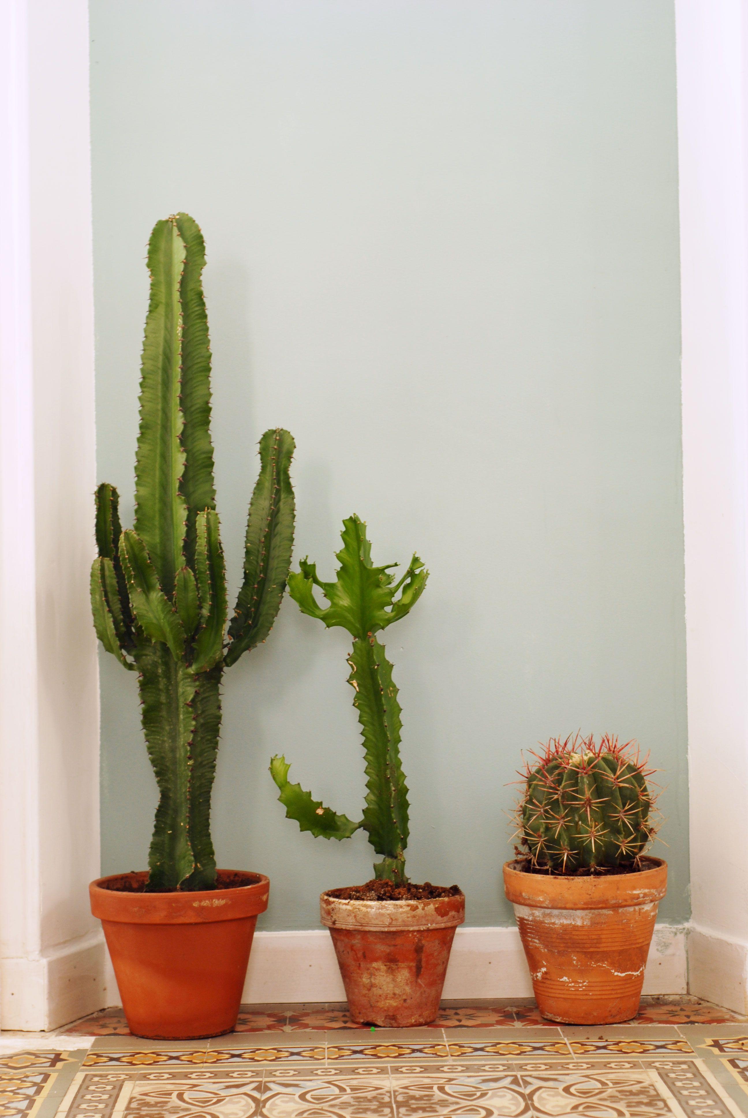 tr s beaux cactus grand cactus d 39 interieur pinterest. Black Bedroom Furniture Sets. Home Design Ideas