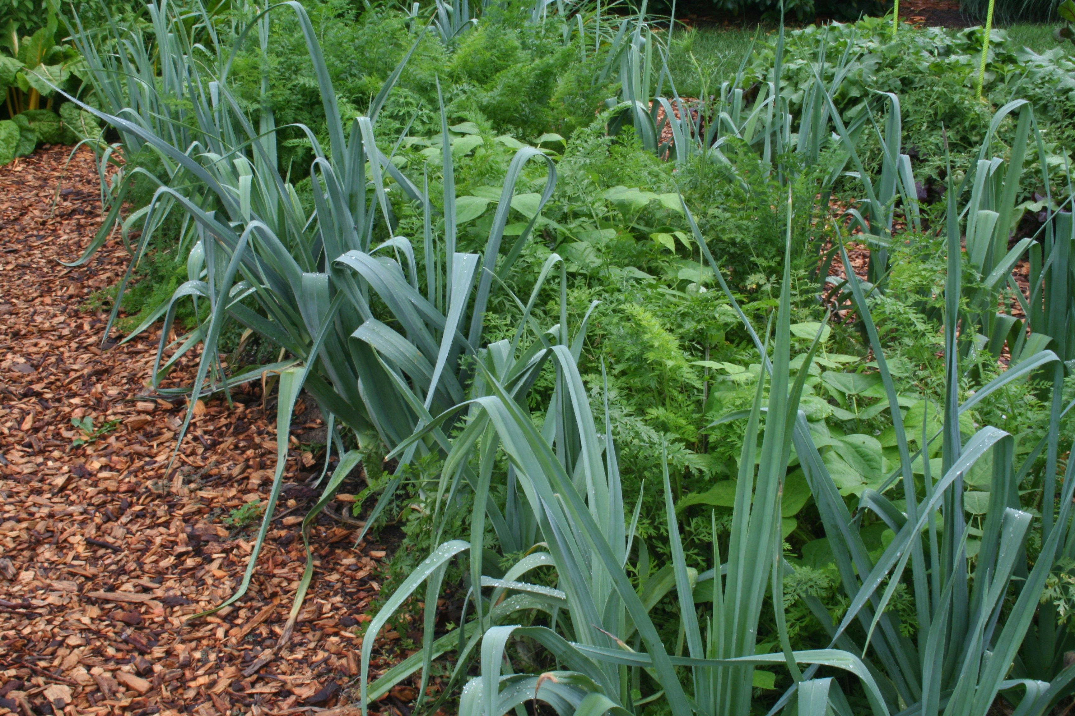 Leeks edging a bed of carrots and beans | Interplanting ... Leek Companion Plants