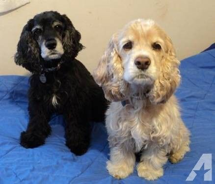 Cocker Spaniel Thelma And Louise Small Senior Female For