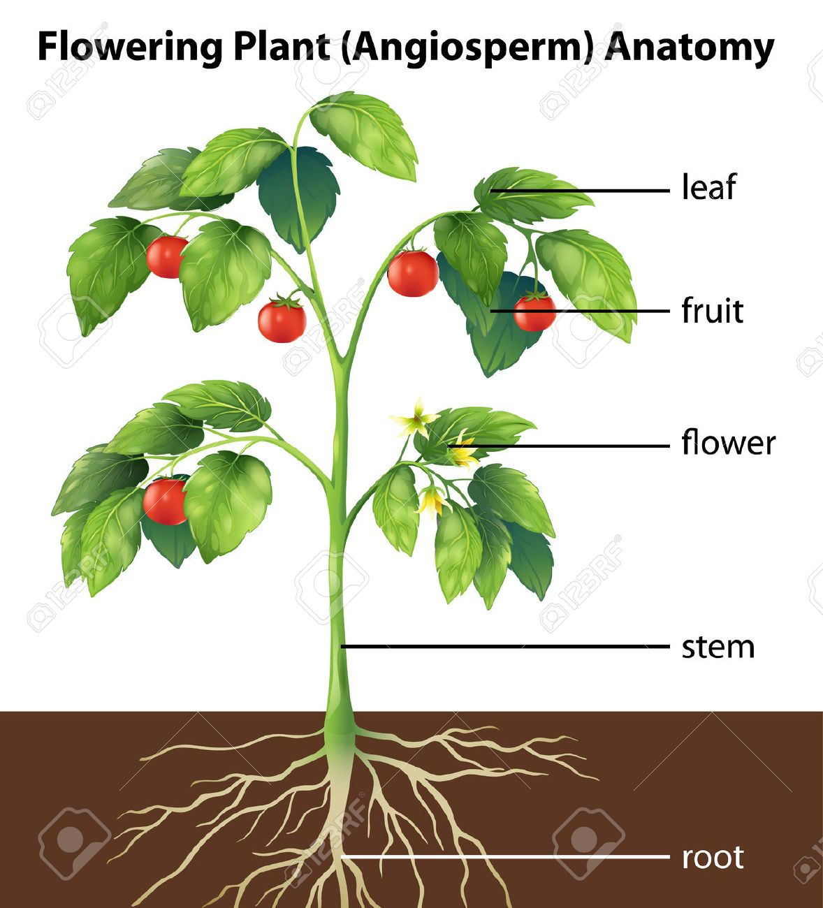 Fc74615538395ca0226f4b55d829428ctomato Plant Illustration Parts Of