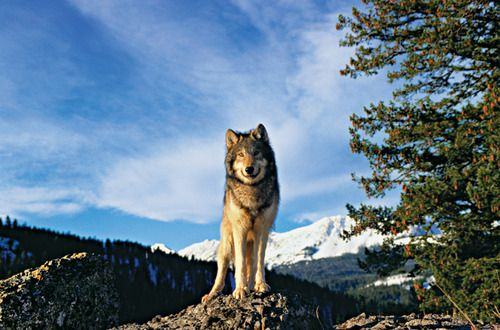 Northern Rocky Mountain Wolf Canis Lupus Irremotus By Alan And