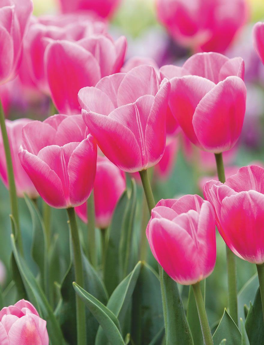 Bokassa Tulips Rose Tesselaar Tulips Rose Rose Flower