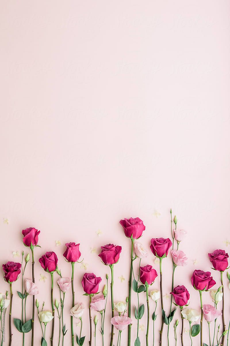 Pink roses on a pink background by Ruth Black for Stocksy