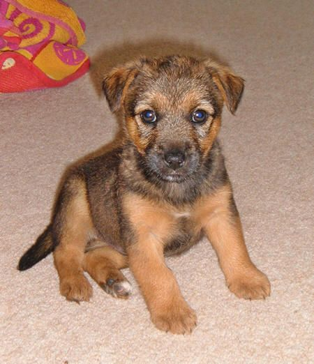 Cross Jack Russell Border Terrier Google Search Jack Russell