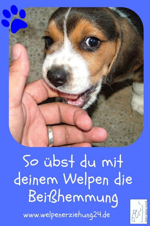 So Lernt Dein Welpe Die Beisshemmung Welpenerziehung Welpen Hunde Welpen Erziehung Hunde