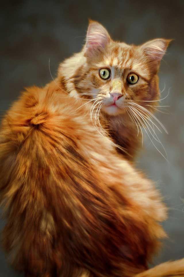 The face. The face. Thaaaat faaaace. Cats, Orange tabby