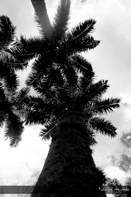 Palmeras 2 | Flickr: Intercambio de fotos