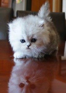 Persian kitten porn