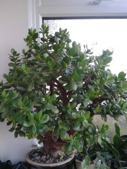 How To Grow And Look After A Money Tree Plant With Flowers Money Tree Plant Money Plant Indoor Trees To Plant