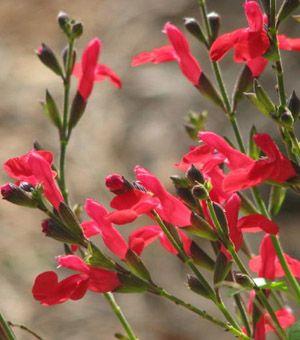 Sage Autumn