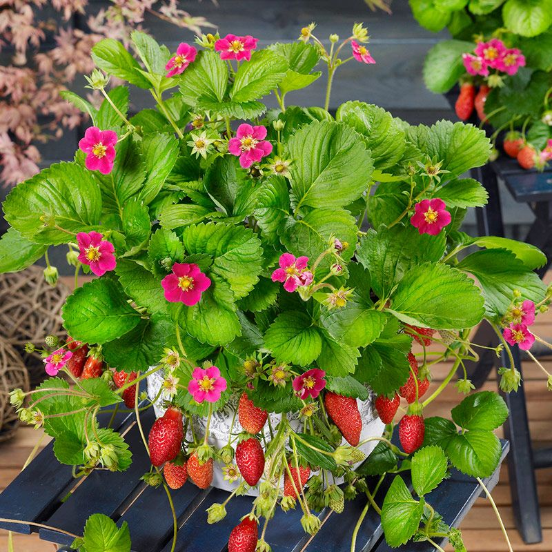 Tarpan strawberry is an everbearing variety sold by bonnie in tarpan strawberry is an everbearing variety sold by bonnie in hanging baskets enjoy it fresh mightylinksfo Gallery