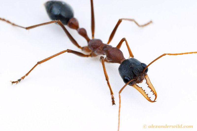 Myrmecia Nigriceps Bulldog Ant Alexanderwild Com Australian