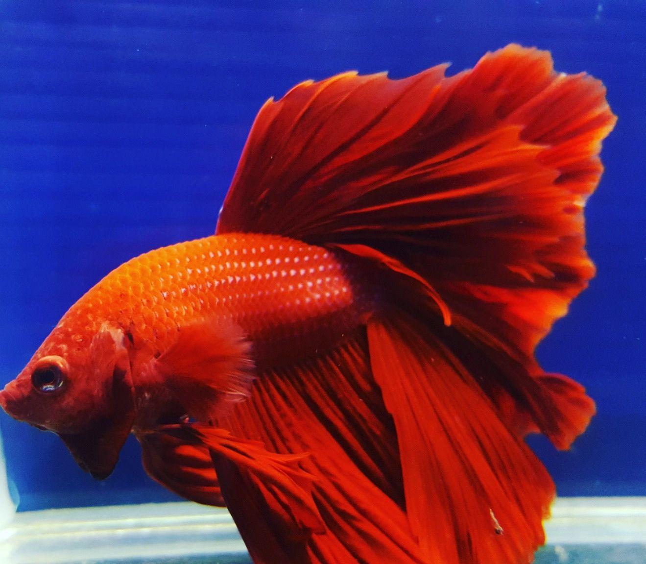 THAI guppy #guppy #fish #beautytails #myHappiness #lovetoseefishes ...