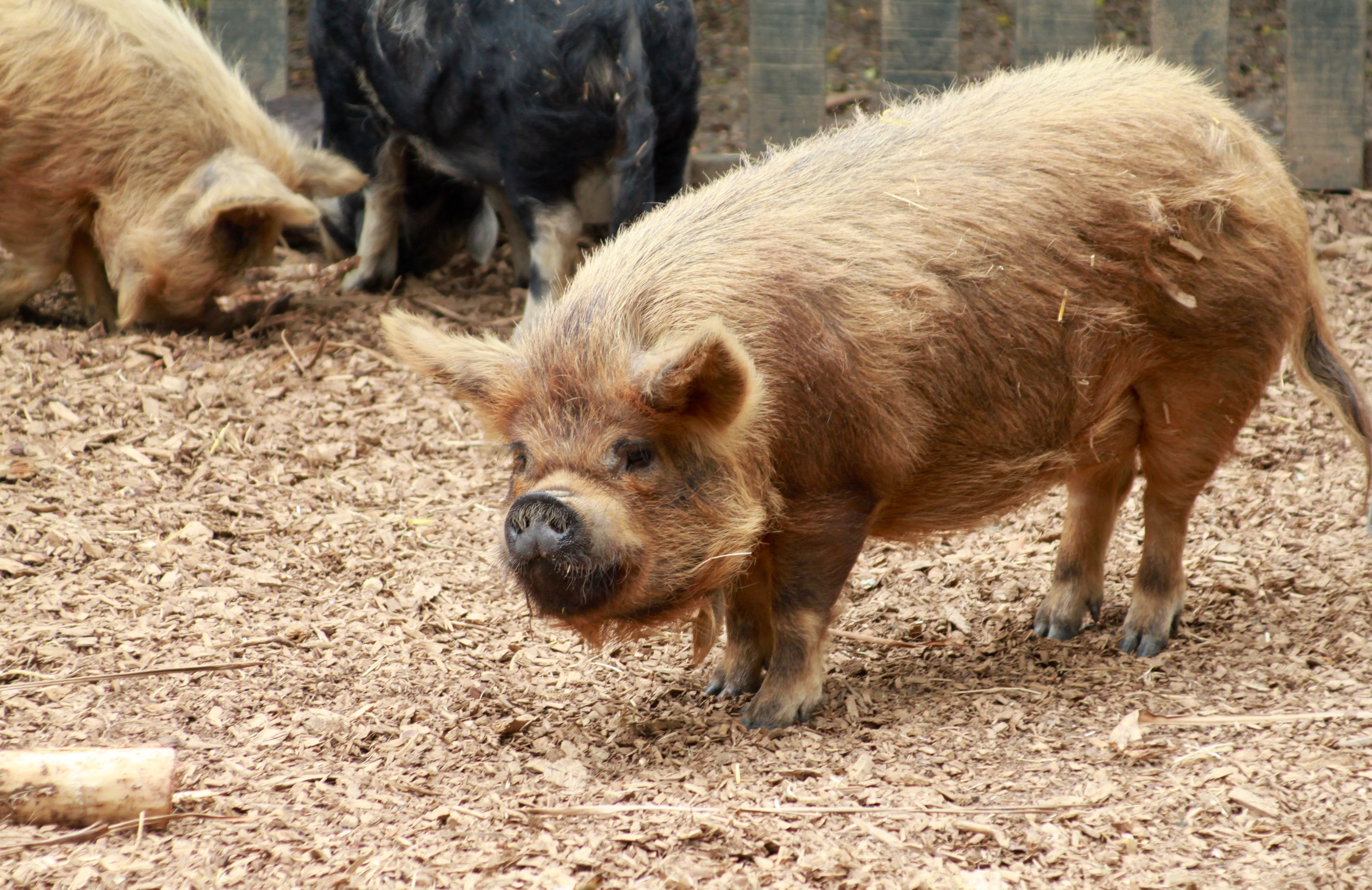 The kunekune is a small breed of domestic pig from New