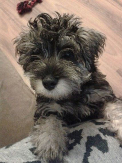 Schnoodles for sale Schnoodle puppy, Puppies, Animals