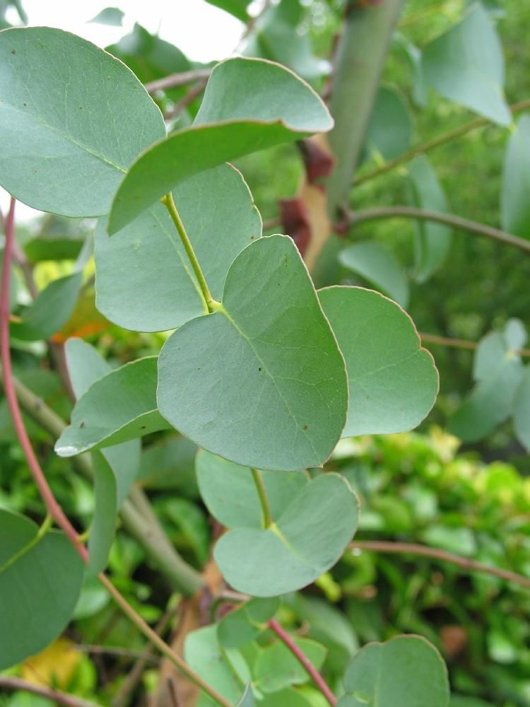 Eucalyptus Globulus Homeopathyandmore Com Eucalyptus Oil Uses Healing Herbs Healing Plants