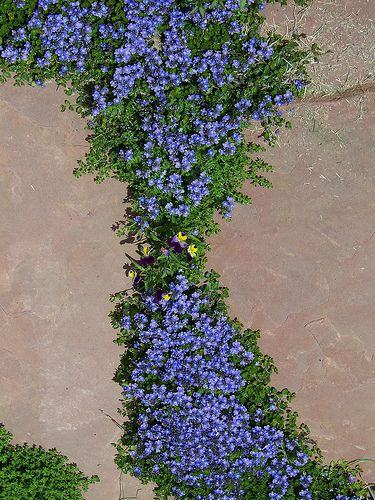 Turkish veronica blooming in flagstone patio ground for Full form of soil
