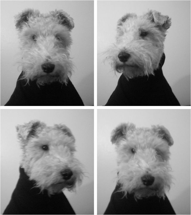 Pin by Deanna Zimmer on Wired Hair Fox Terriers | Fox ...