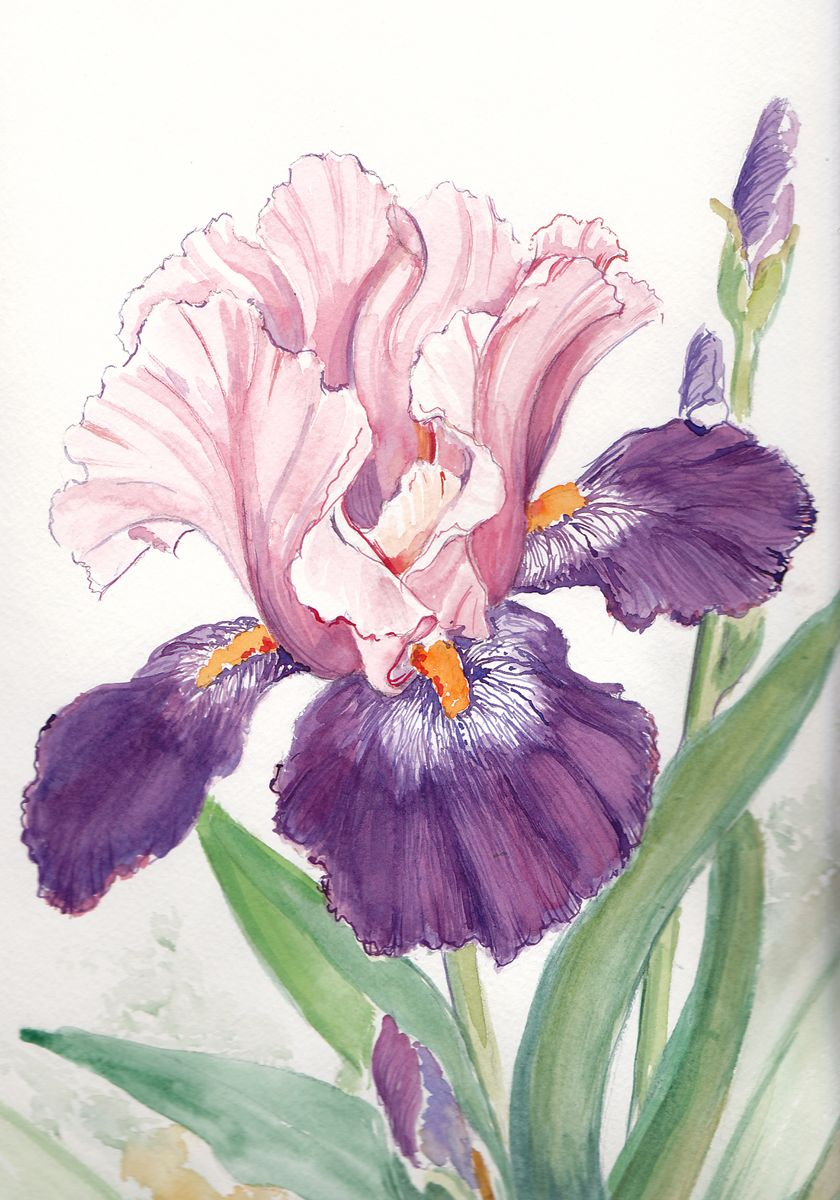 Gallery 6 water color gallery fran bizal artist acrylic two toned iris izmirmasajfo