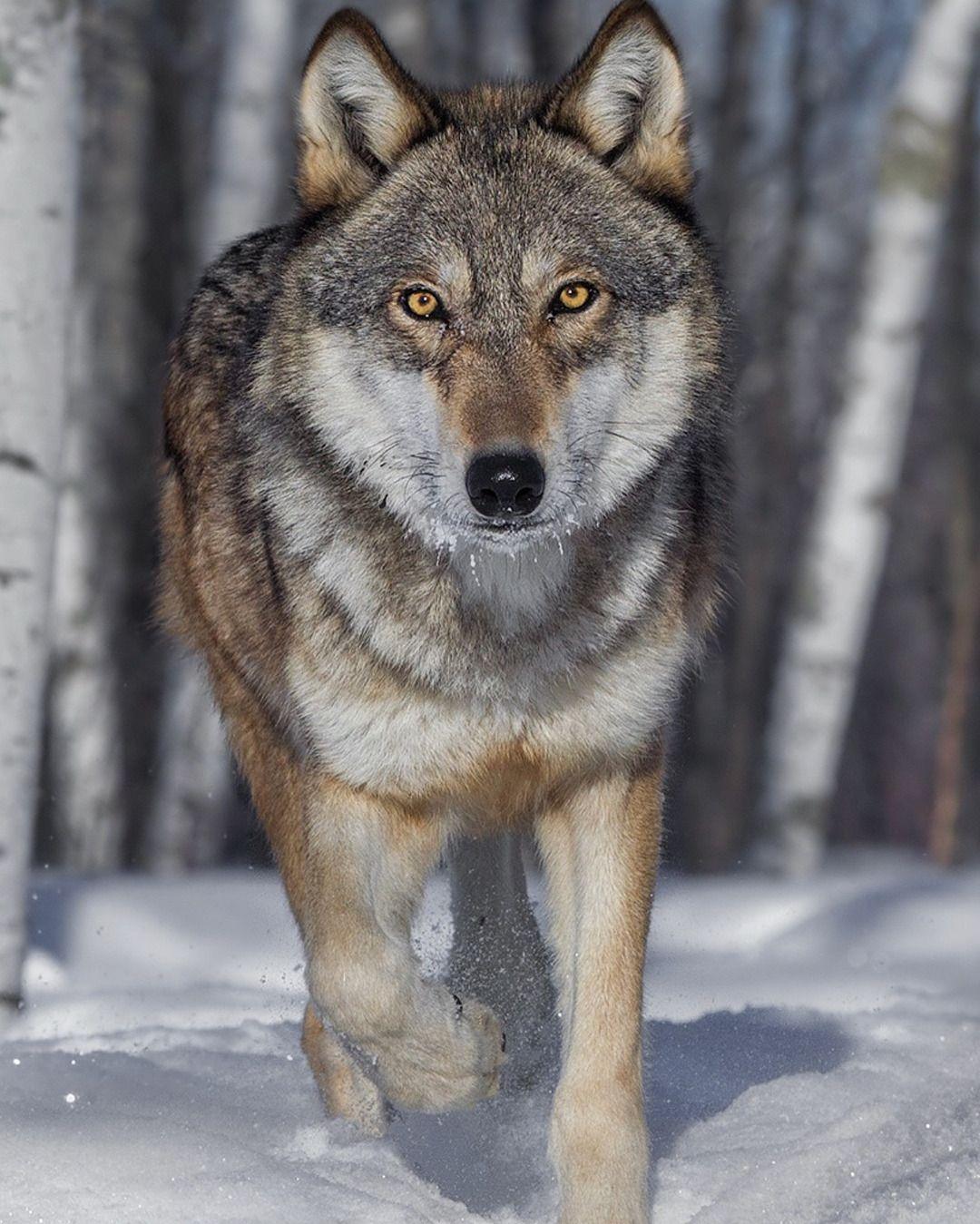 они фотографии волков одиночек пойдет поддержку работы