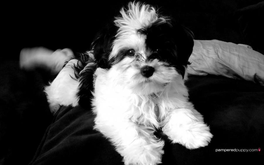 Havanese So Similar To My Puppy Nibbins Havanese Puppies Havanese Dogs Black And White Dog