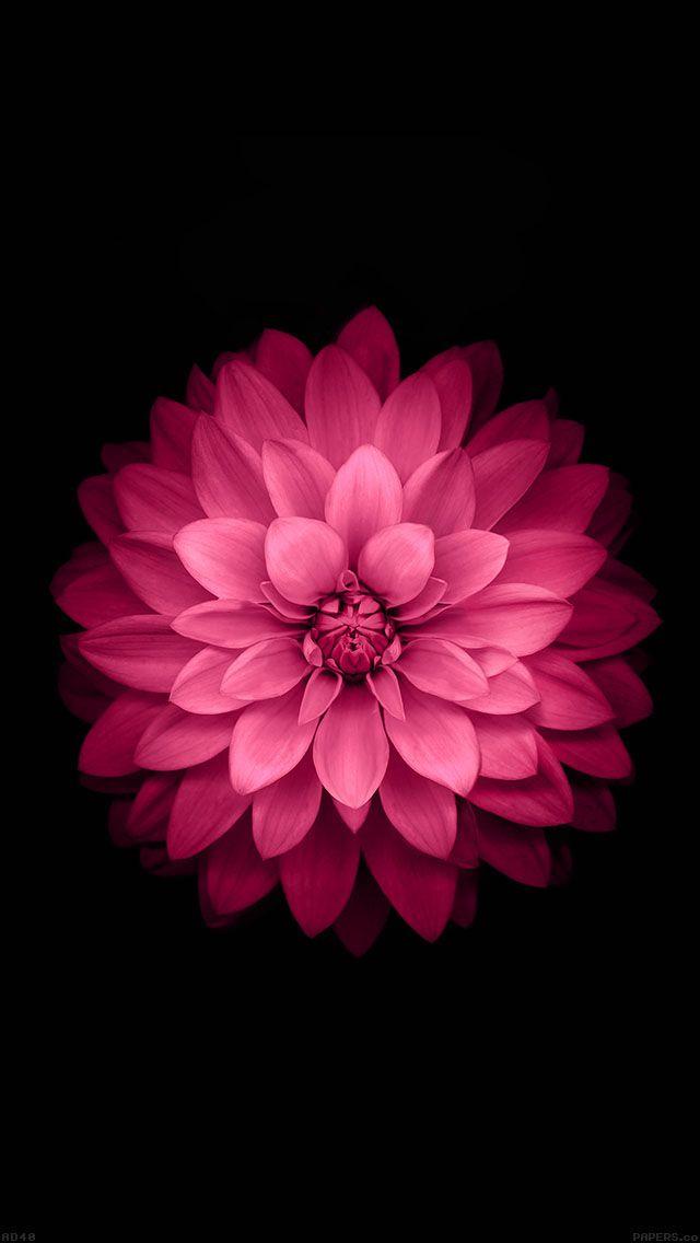 Download wallpaper: http://goo.gl/bOqT2k ad40-apple-red-lotus-iphone6-plus-ios8-flower via freeios8.com - iPhone, iPad, iOS8, Parallax wallpapers