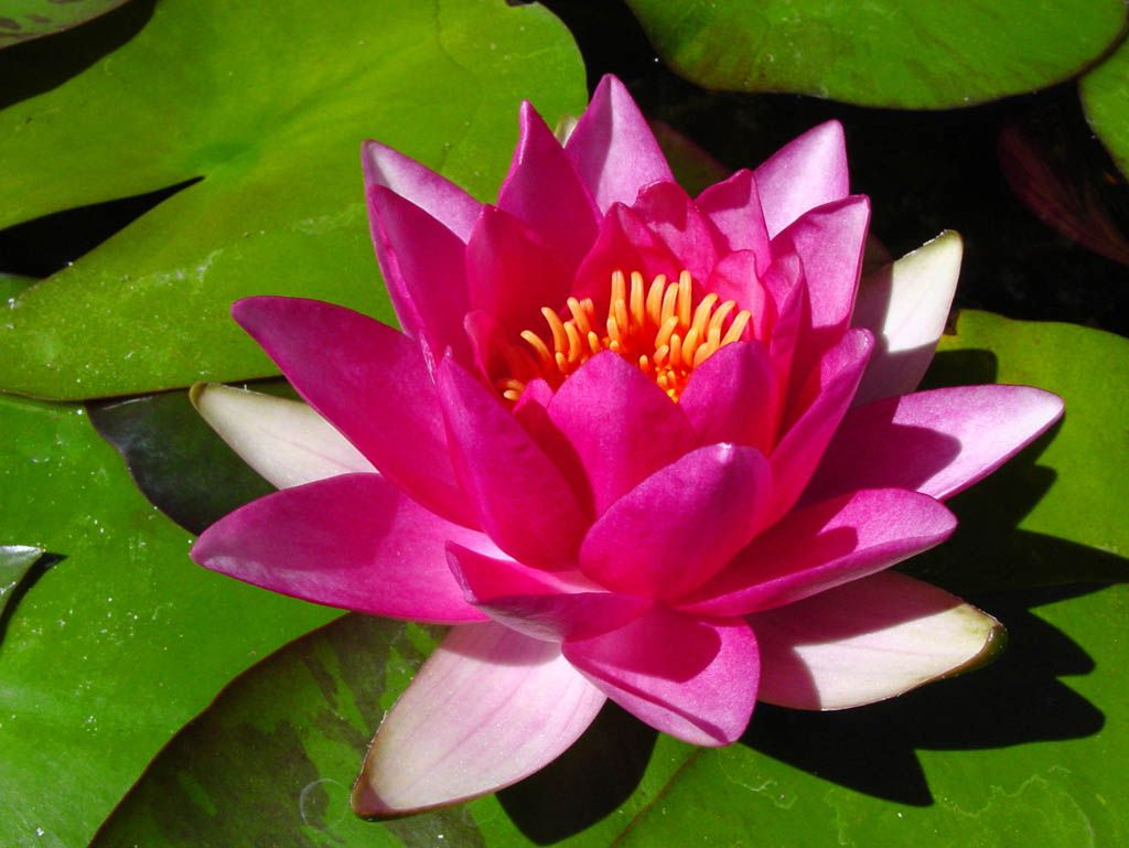 Pin By Laurie Beck On Water Lilies Pinterest Water Lilies
