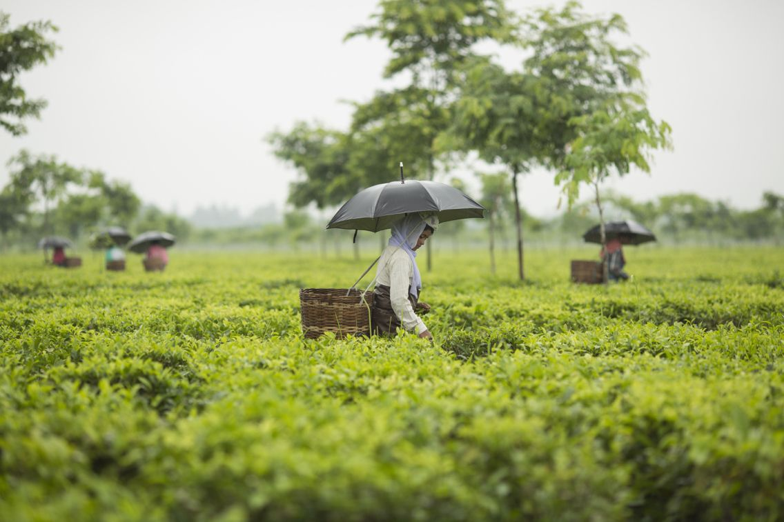 In Assam in northeast India, tea is grown in flat gardens