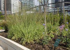 Molinia caerulea subsp. arundinacea 'Transparent' -- a tall moorgrass