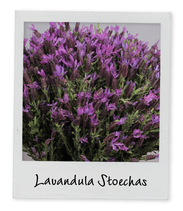 Lavandula Stoechas - Holex Insights newsletter week 16