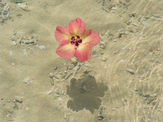 Fleur de purau