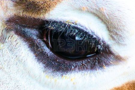 closeup, eye of a giraffe