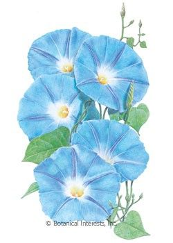Annual This Showy Climber Will Bedazzle All Who Are Lucky Enough To Behold It Morning Glory Is S Blue Morning Glory Morning Glory Seeds Morning Glory Flowers