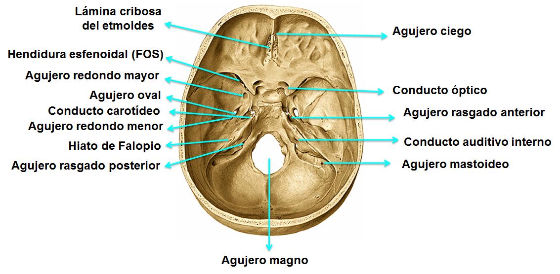 Resultado de imagen de agujeros base craneo   Neuro   Pinterest
